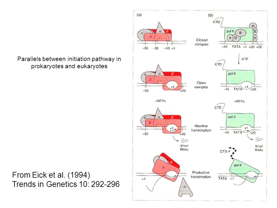 Parallels between initiation pathway in prokaryotes and eukaryotes