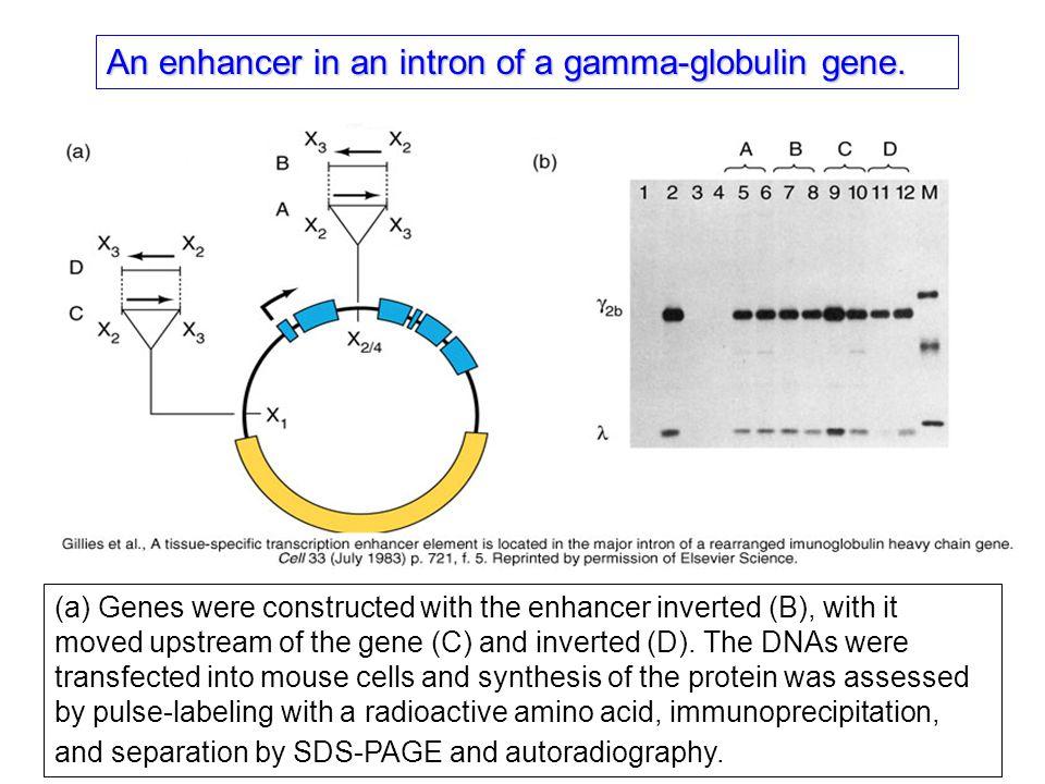 An enhancer in an intron of a gamma-globulin gene.