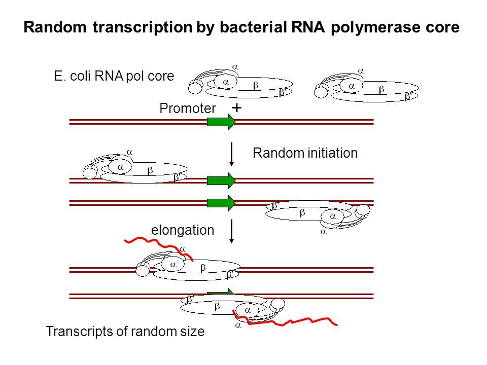 Random transcription by bacterial RNA polymerase core
