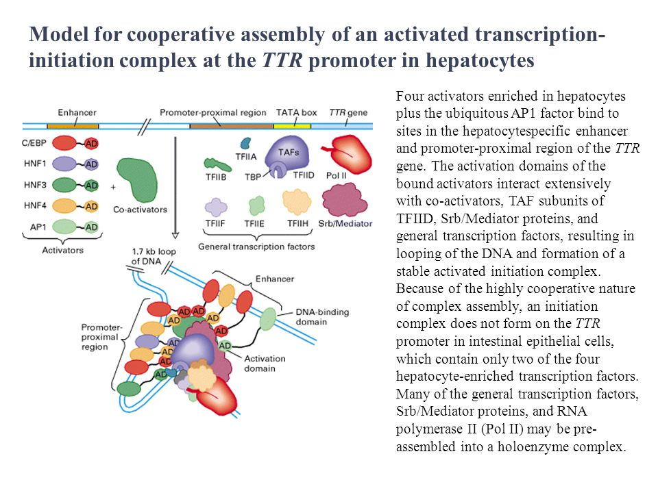 Model for cooperative assembly of an activated transcription-initiation complex at the TTR promoter in hepatocytes