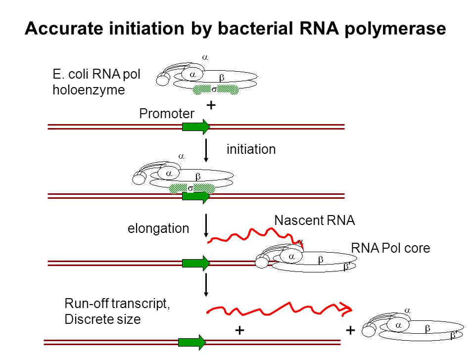 Accurate initiation by bacterial RNA polymerase