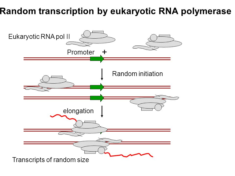 Random transcription by eukaryotic RNA polymerase