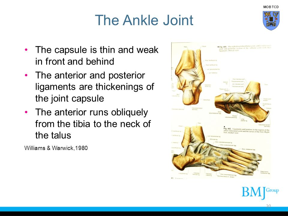 The Ankle Joint The capsule is thin and weak in front and behind