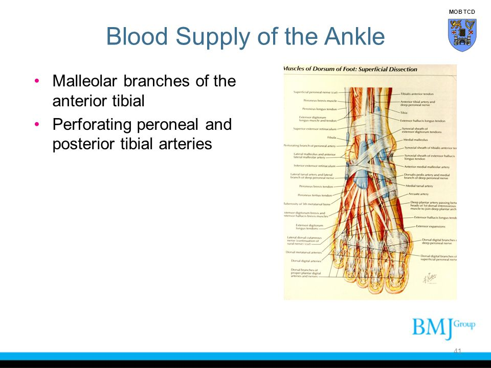 Blood Supply of the Ankle