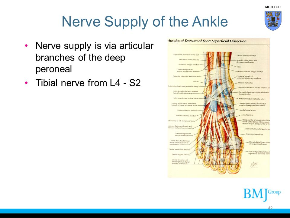 Nerve Supply of the Ankle