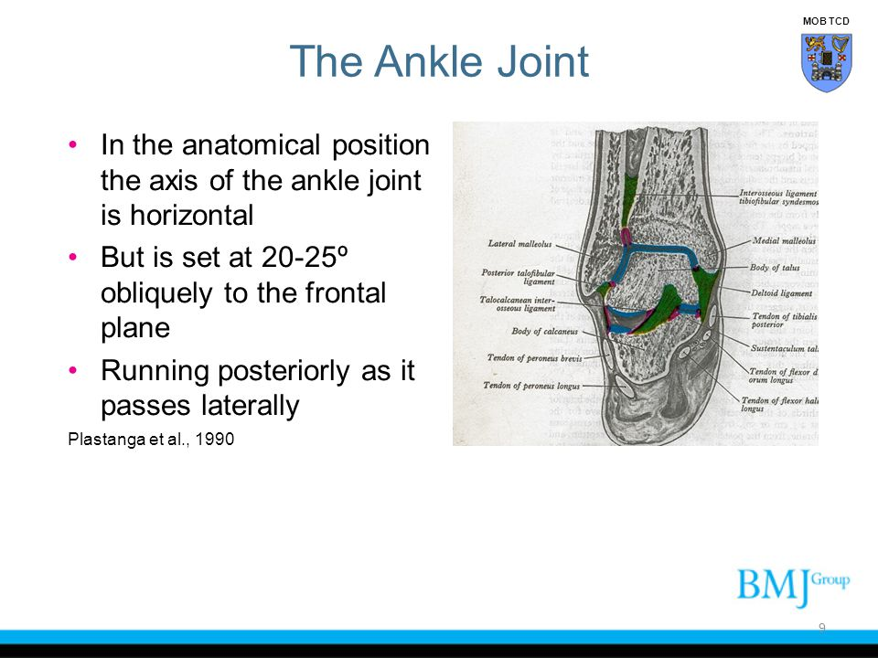 MOB TCD The Ankle Joint. In the anatomical position the axis of the ankle joint is horizontal.