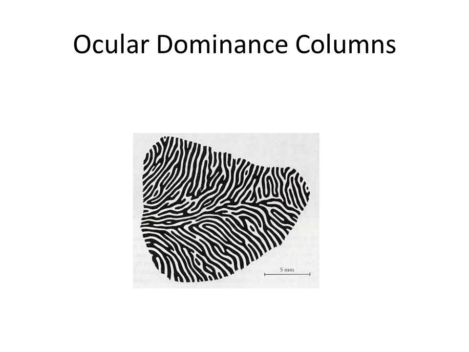 Ocular Dominance Columns