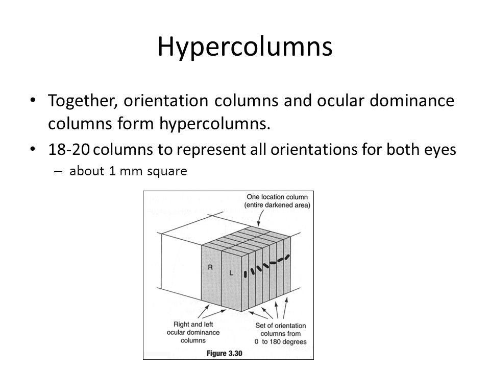 Hypercolumns Together, orientation columns and ocular dominance columns form hypercolumns. 18-20 columns to represent all orientations for both eyes.