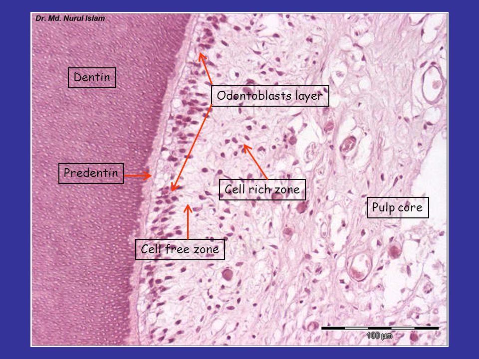 Dentin Odontoblasts layer Predentin Cell rich zone Pulp core Cell free zone