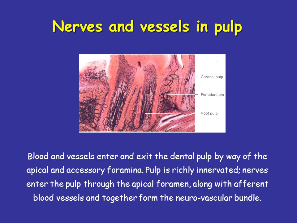 Nerves and vessels in pulp