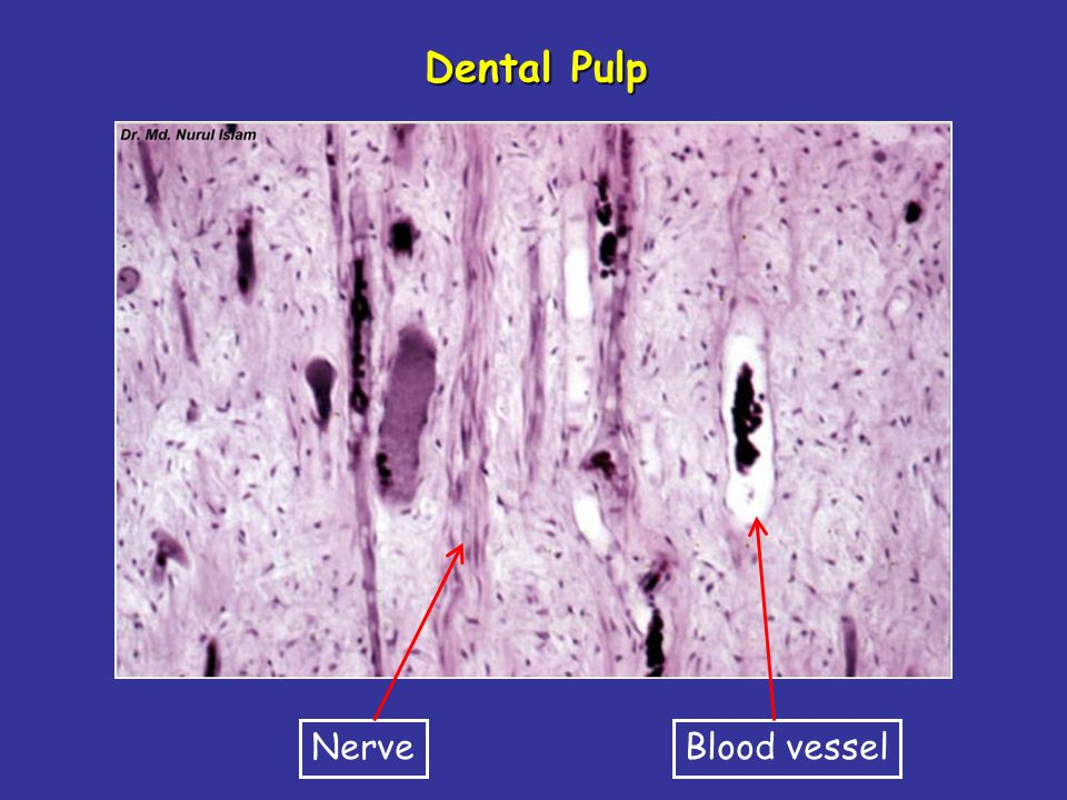 Dental Pulp Nerve Blood vessel