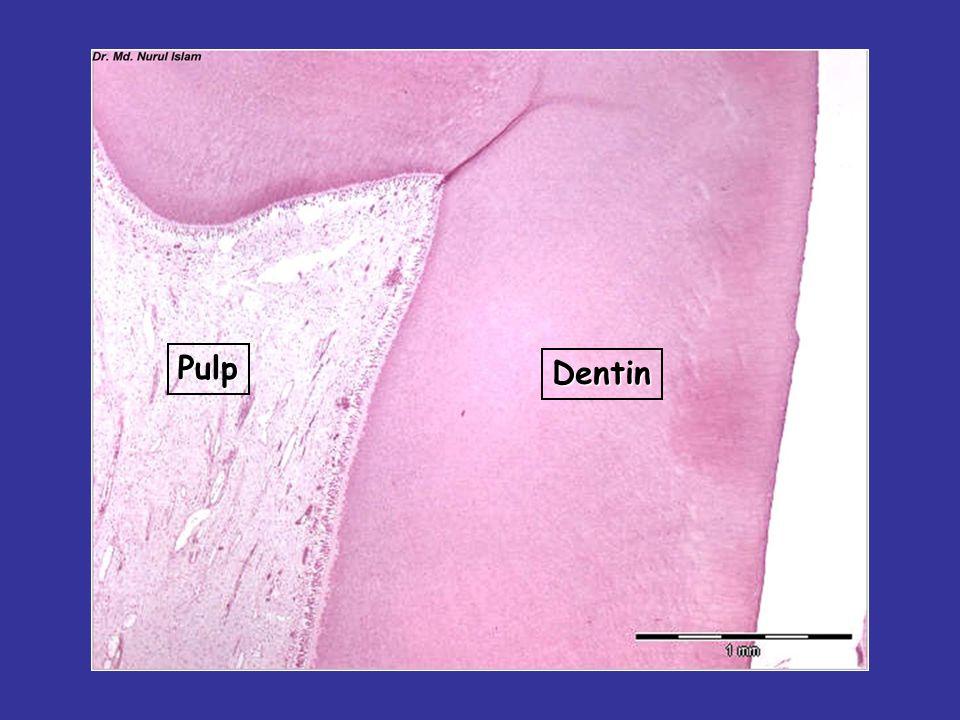 Pulp Dentin