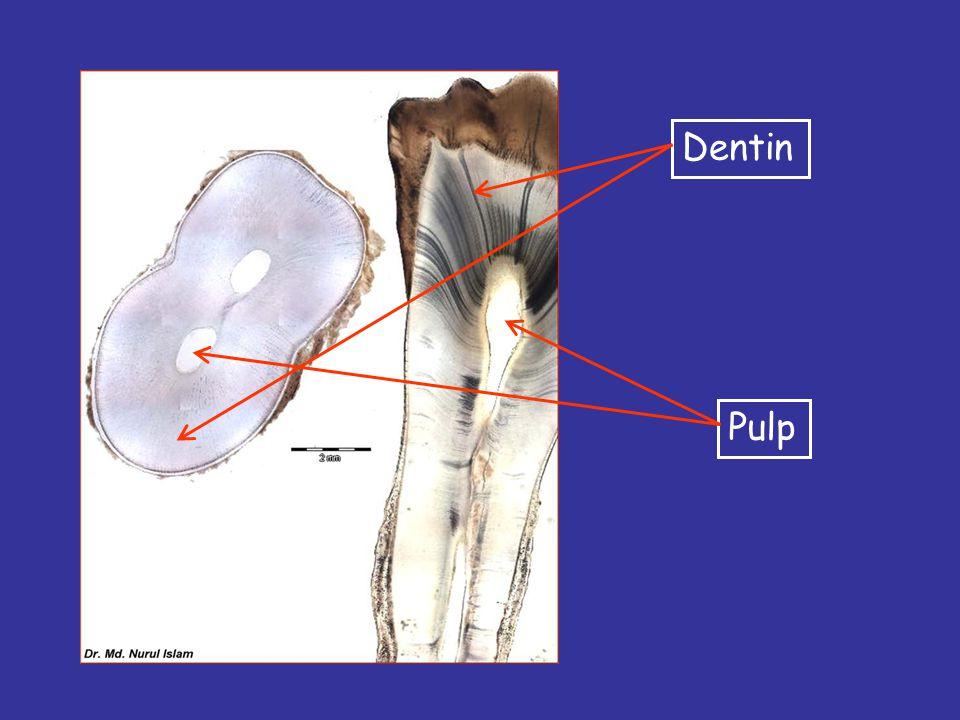 Dentin Pulp