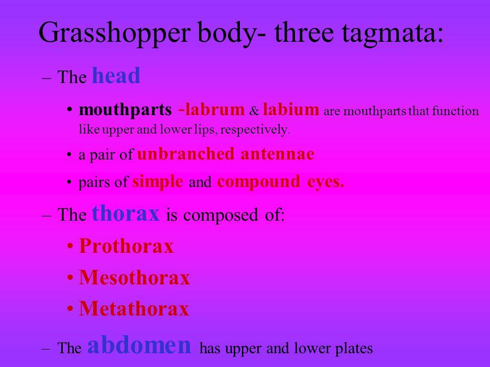 Grasshopper body- three tagmata: