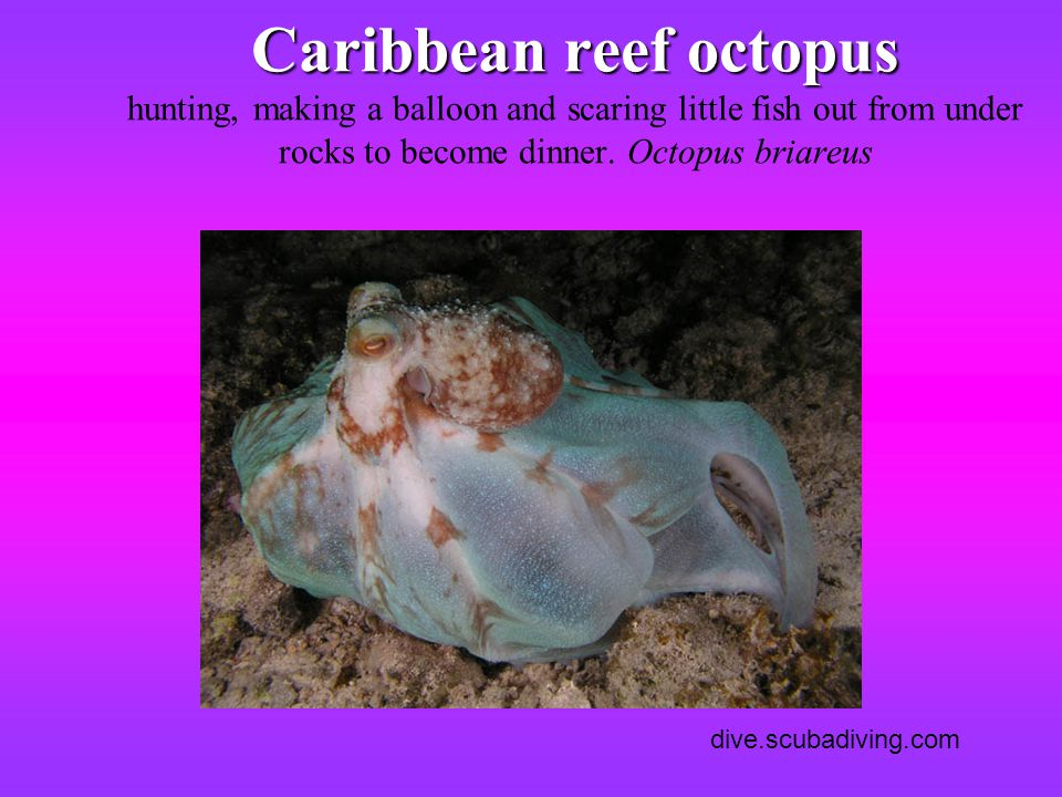 Caribbean reef octopus hunting, making a balloon and scaring little fish out from under rocks to become dinner. Octopus briareus