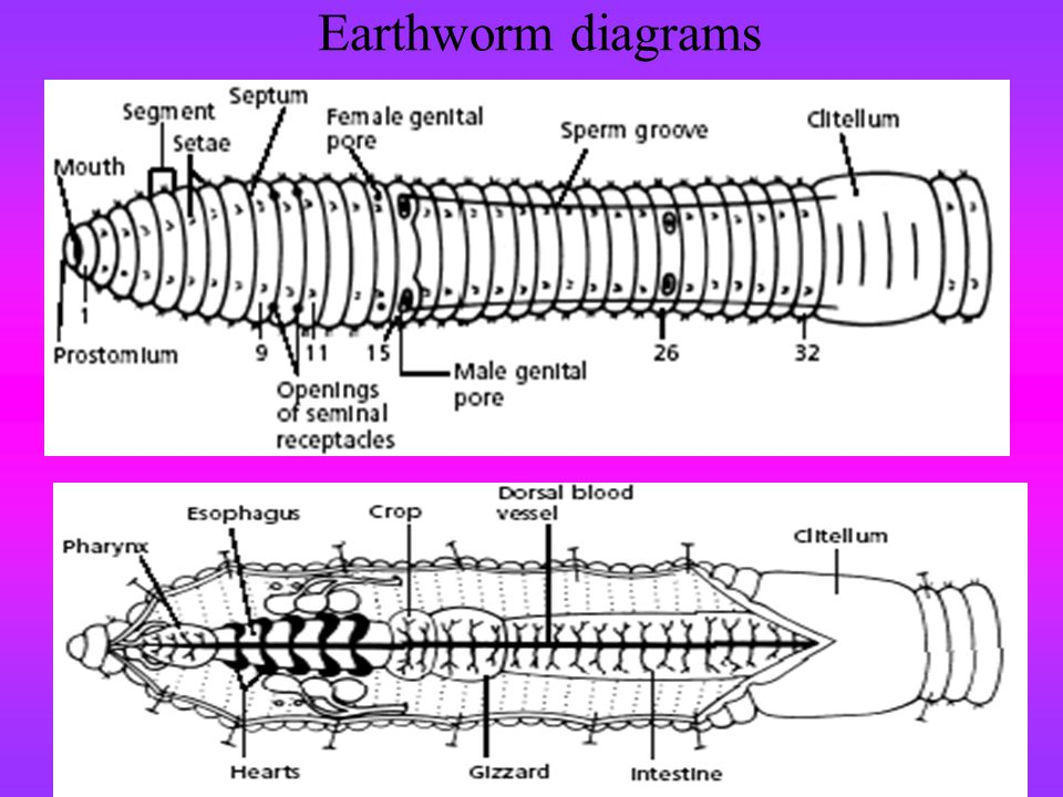 Earthworm diagrams