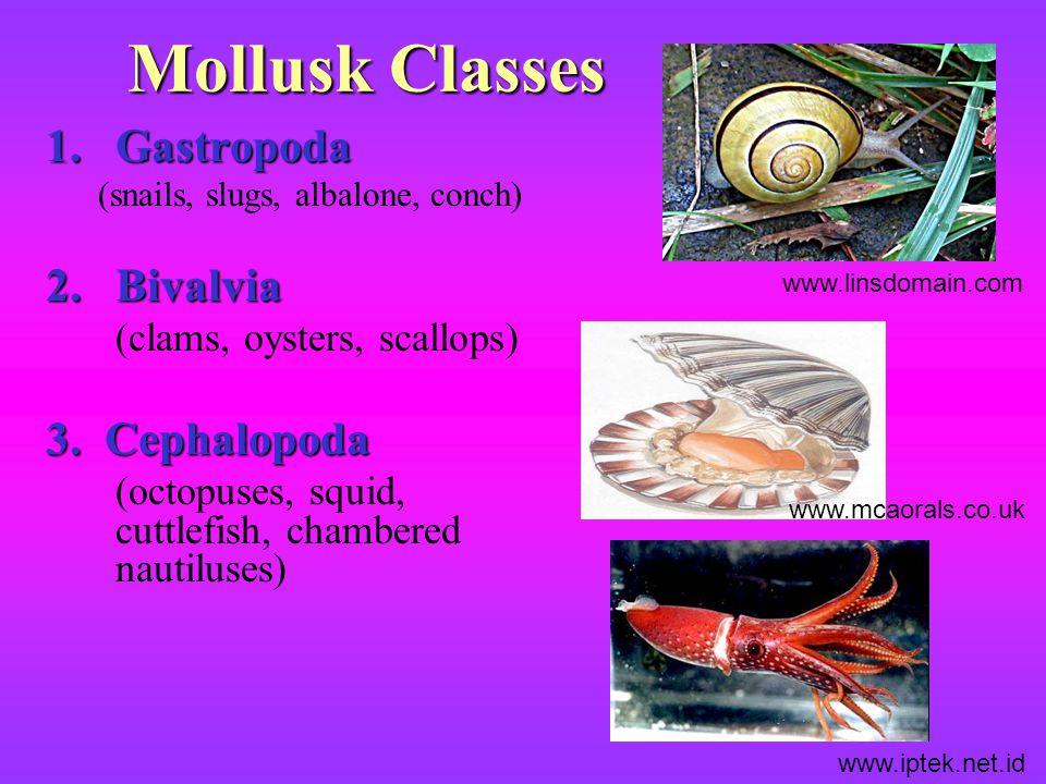 Mollusk Classes Gastropoda Bivalvia 3. Cephalopoda