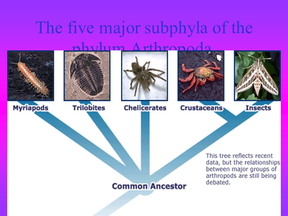 The five major subphyla of the phylum Arthropoda.