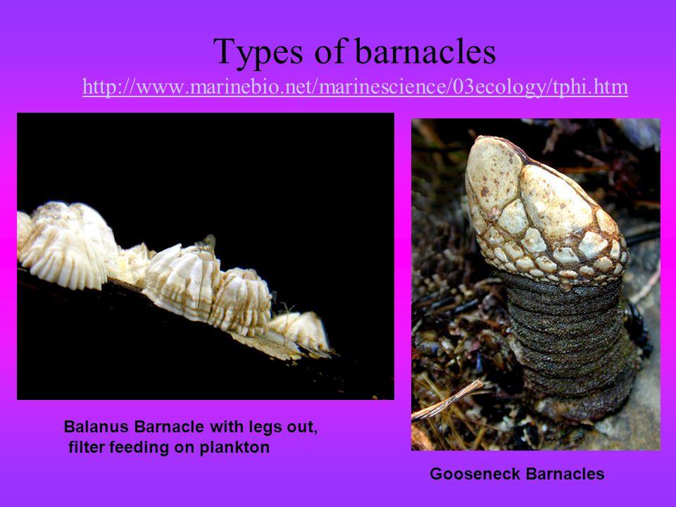Types of barnacles http://www. marinebio