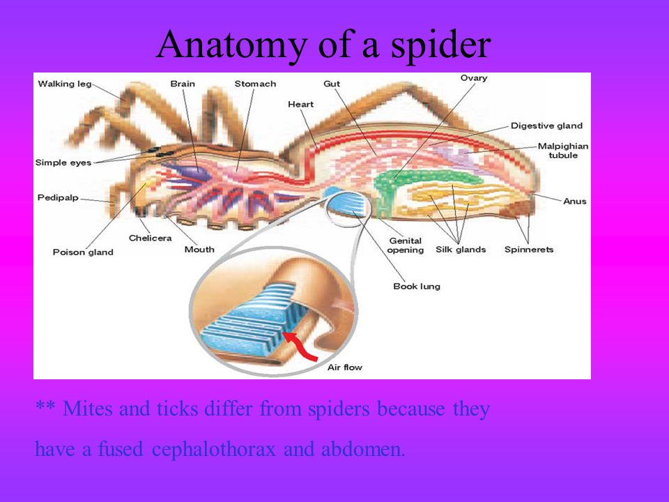 Anatomy of a spider ** Mites and ticks differ from spiders because they.