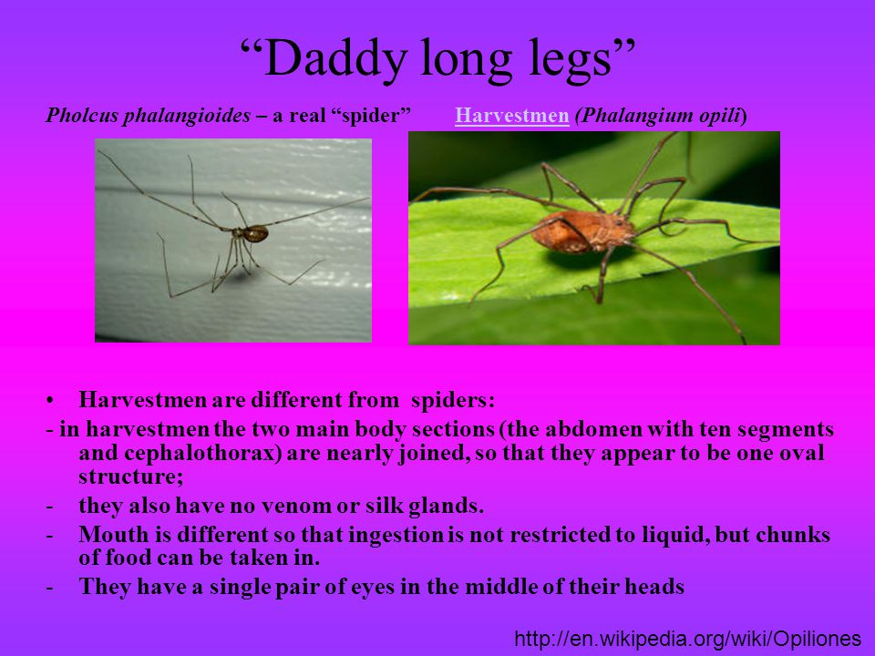Daddy long legs Harvestmen are different from spiders: