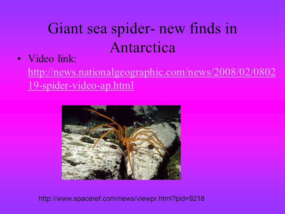 Giant sea spider- new finds in Antarctica