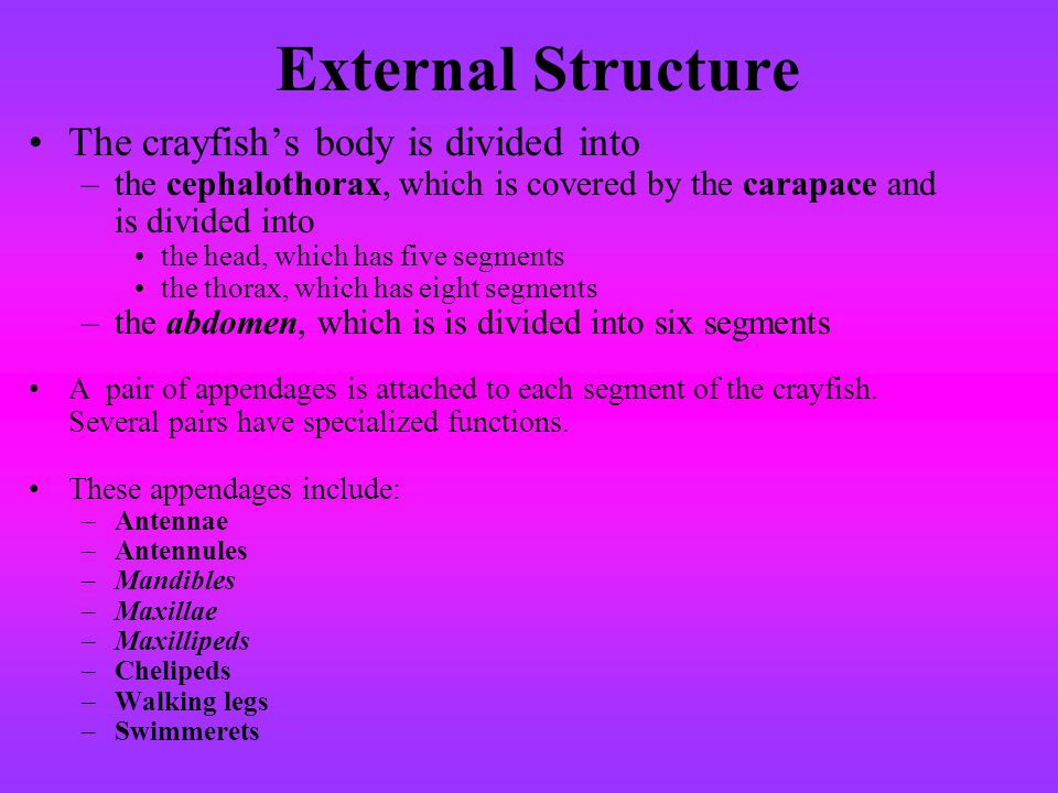 External Structure The crayfish's body is divided into