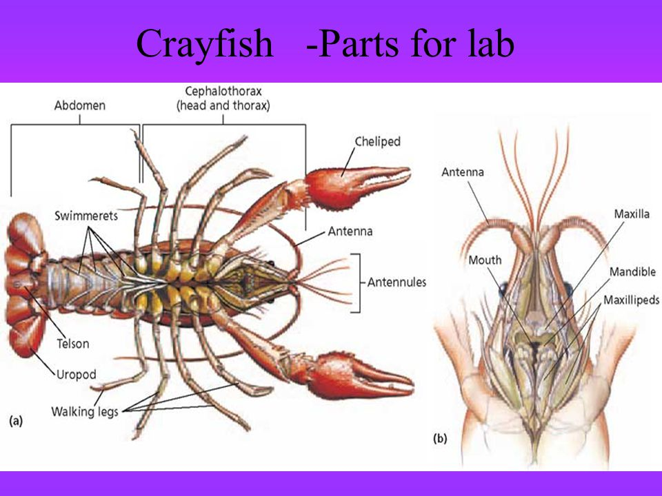 Crayfish -Parts for lab