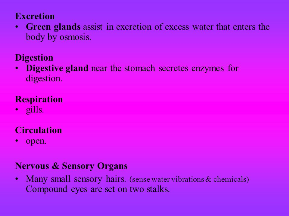 Excretion Green glands assist in excretion of excess water that enters the body by osmosis. Digestion.