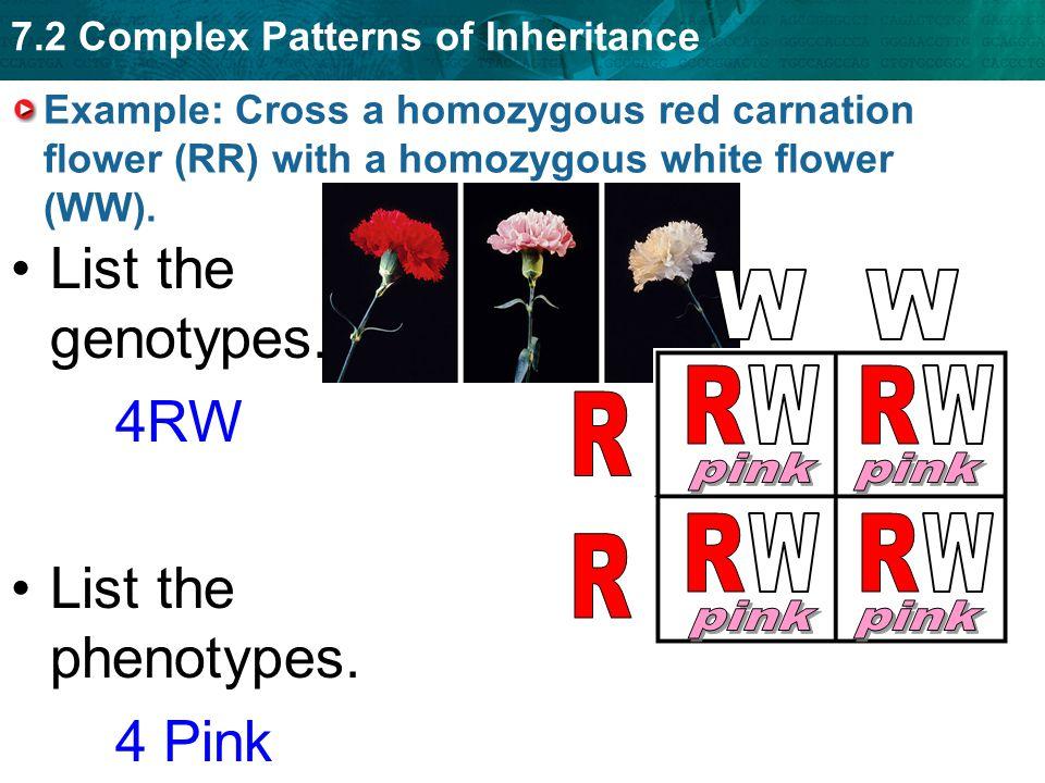 List the genotypes. 4RW List the phenotypes. 4 Pink W W R W R W R pink