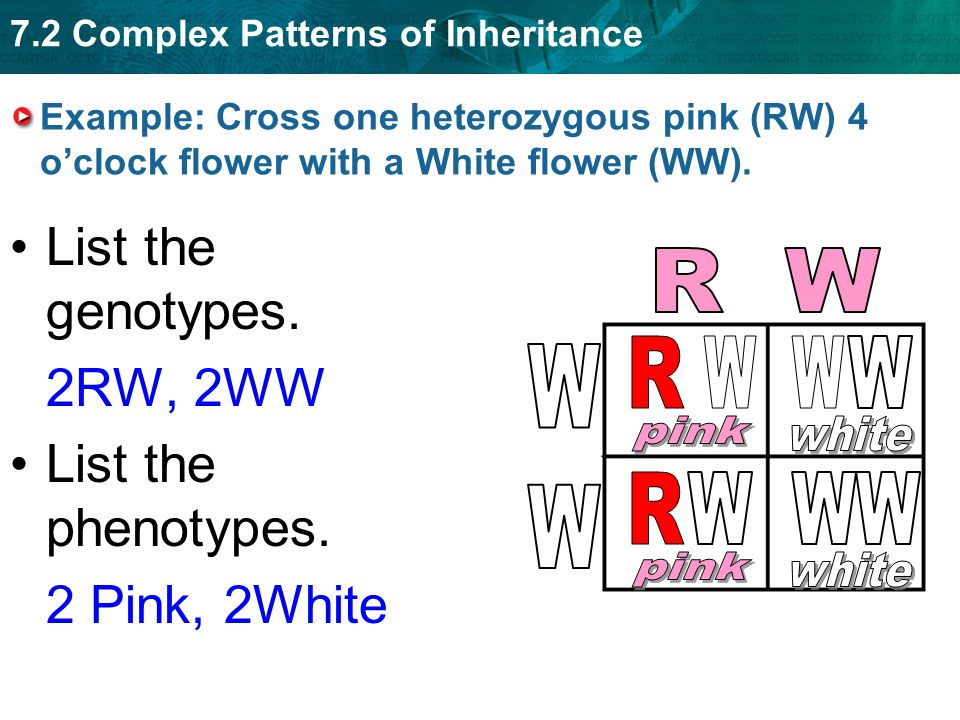 List the genotypes. 2RW, 2WW List the phenotypes. 2 Pink, 2White R W R