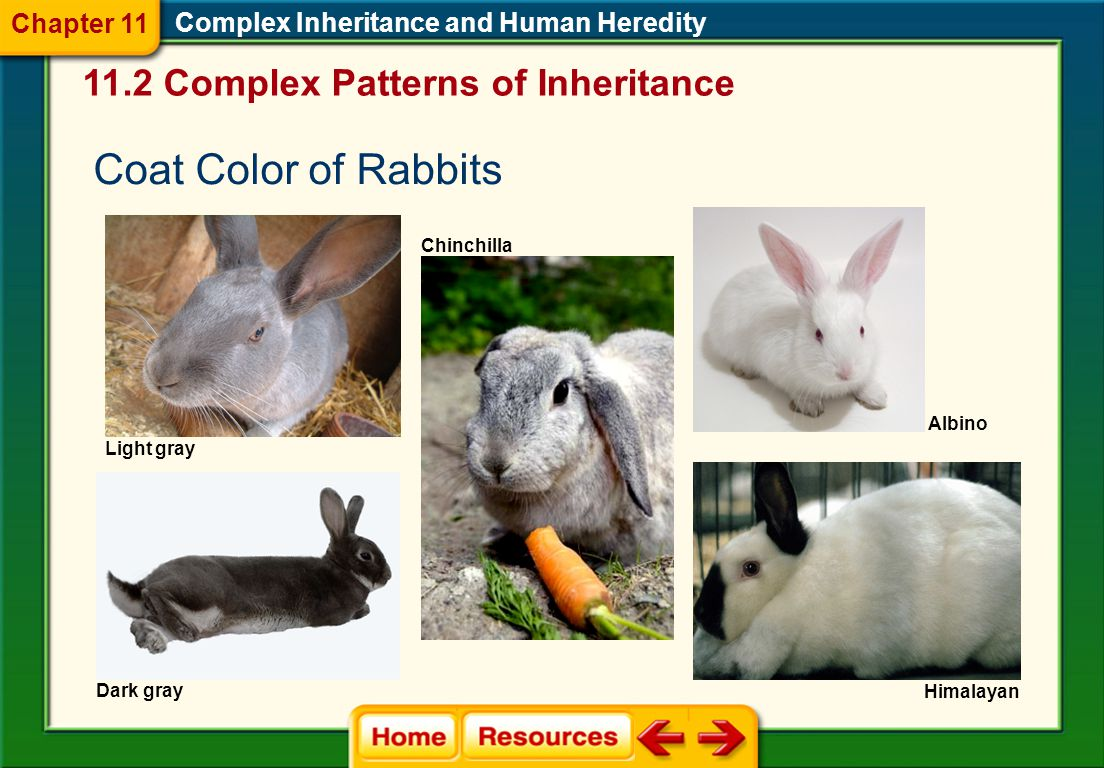 Coat Color of Rabbits 11.2 Complex Patterns of Inheritance Chapter 11