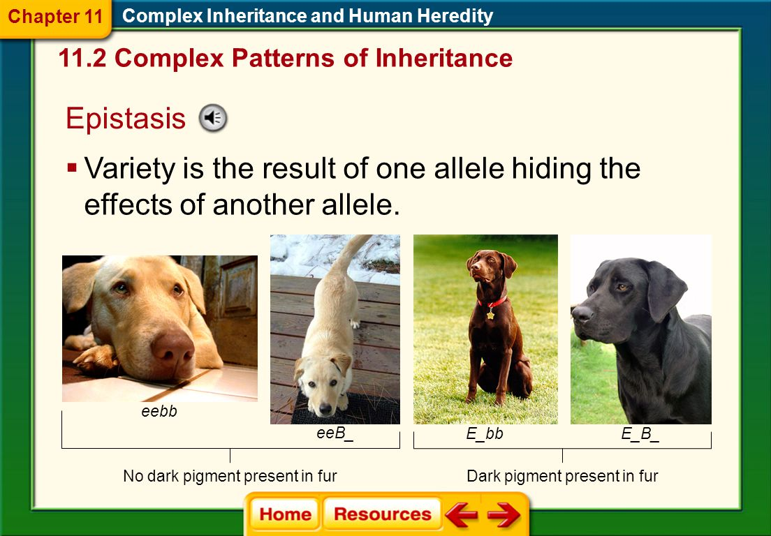 Chapter 11 Complex Inheritance and Human Heredity. 11.2 Complex Patterns of Inheritance. Epistasis.