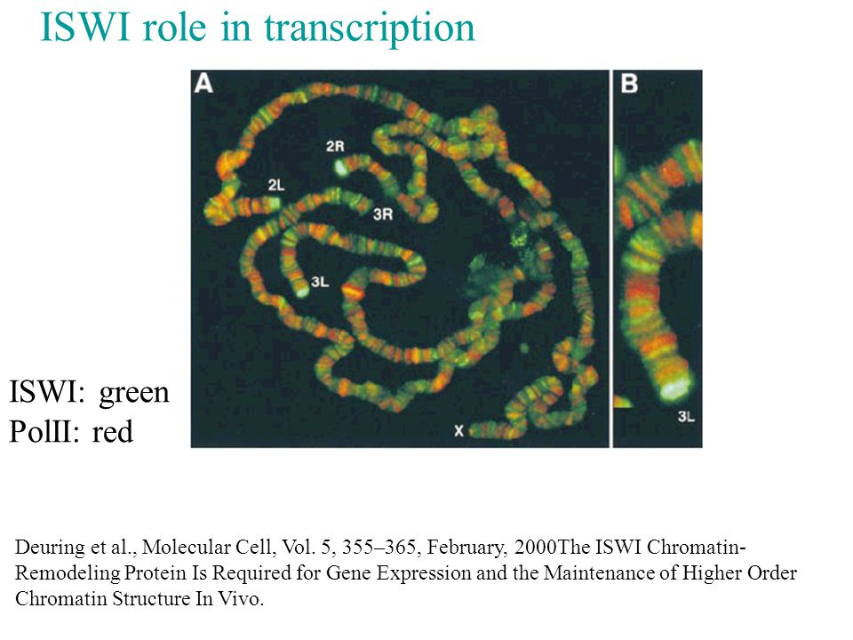 ISWI role in transcription