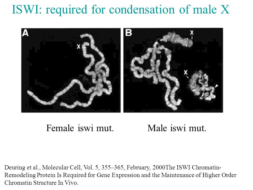 ISWI: required for condensation of male X