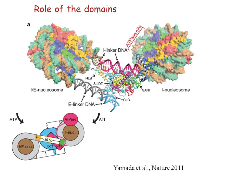 Role of the domains Yamada et al., Nature 2011