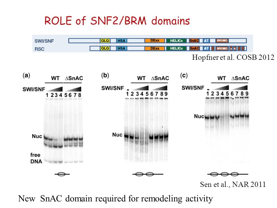 ROLE of SNF2/BRM domains