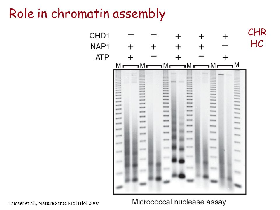 Role in chromatin assembly