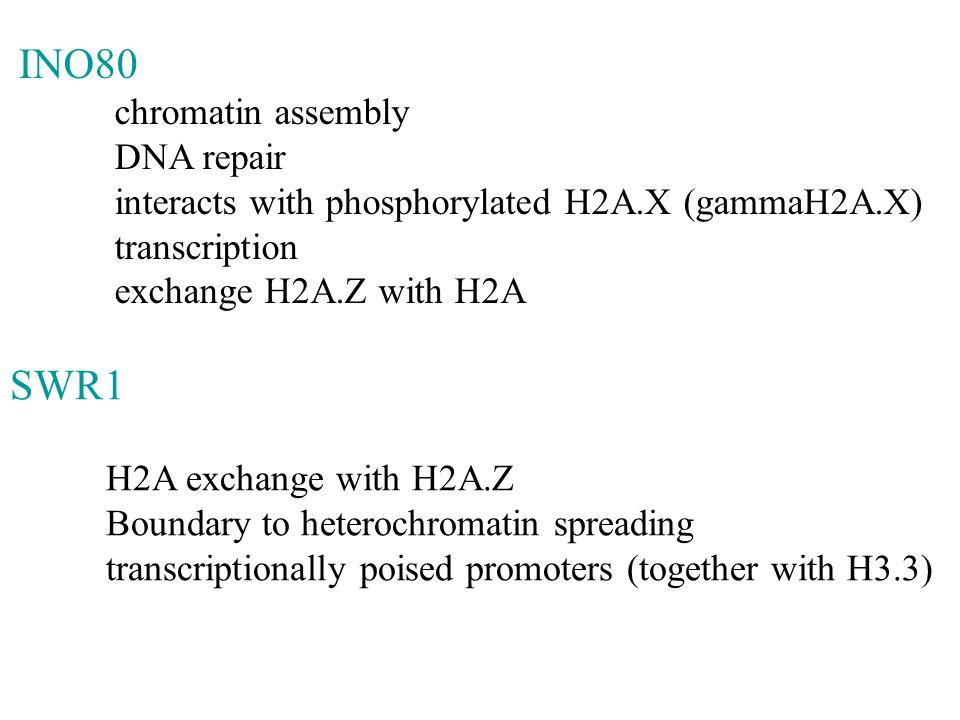 INO80 SWR1 chromatin assembly DNA repair