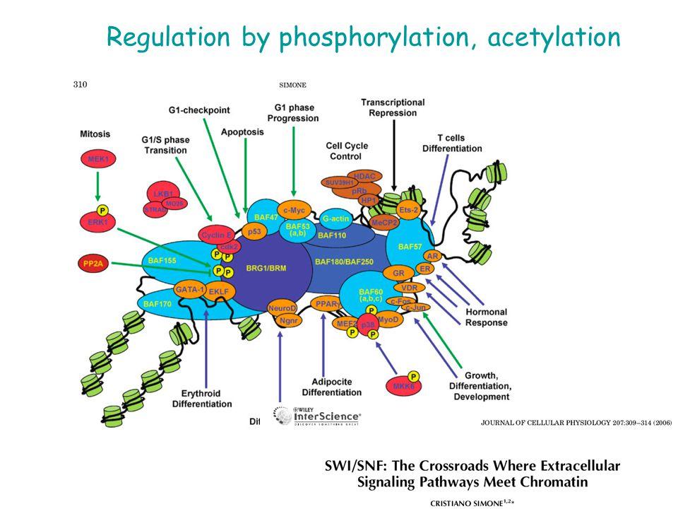 Regulation by phosphorylation, acetylation