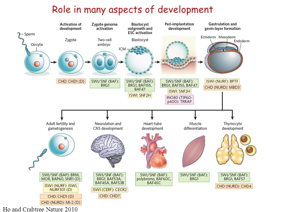 Role in many aspects of development