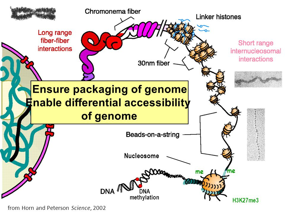 Ensure packaging of genome Enable differential accessibility