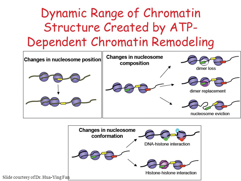 Dynamic Range of Chromatin Structure Created by ATP-Dependent Chromatin Remodeling