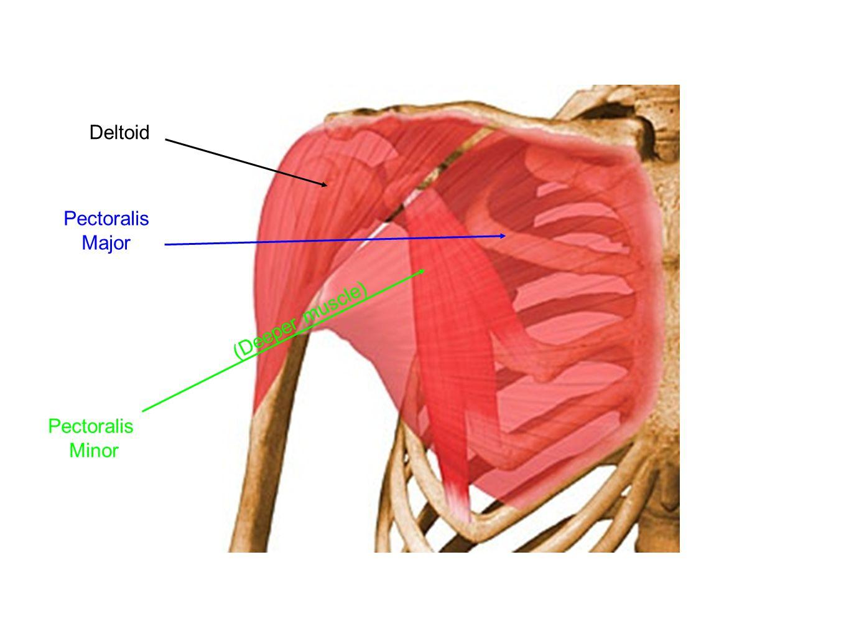 Deltoid Pectoralis Major (Deeper muscle) Pectoralis Minor