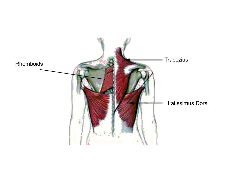 Trapezius Rhomboids Latissimus Dorsi