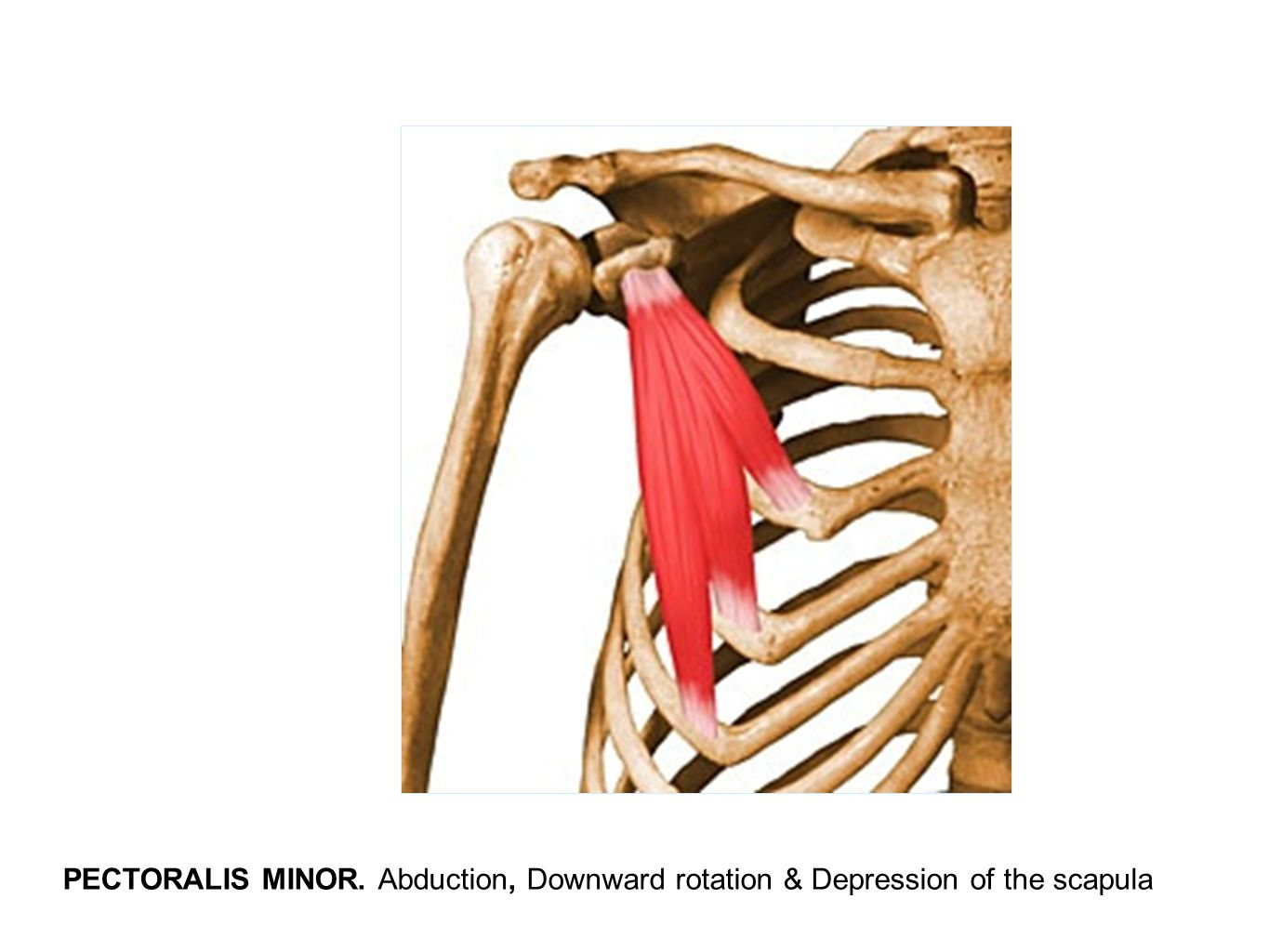 PECTORALIS MINOR. Abduction, Downward rotation & Depression of the scapula