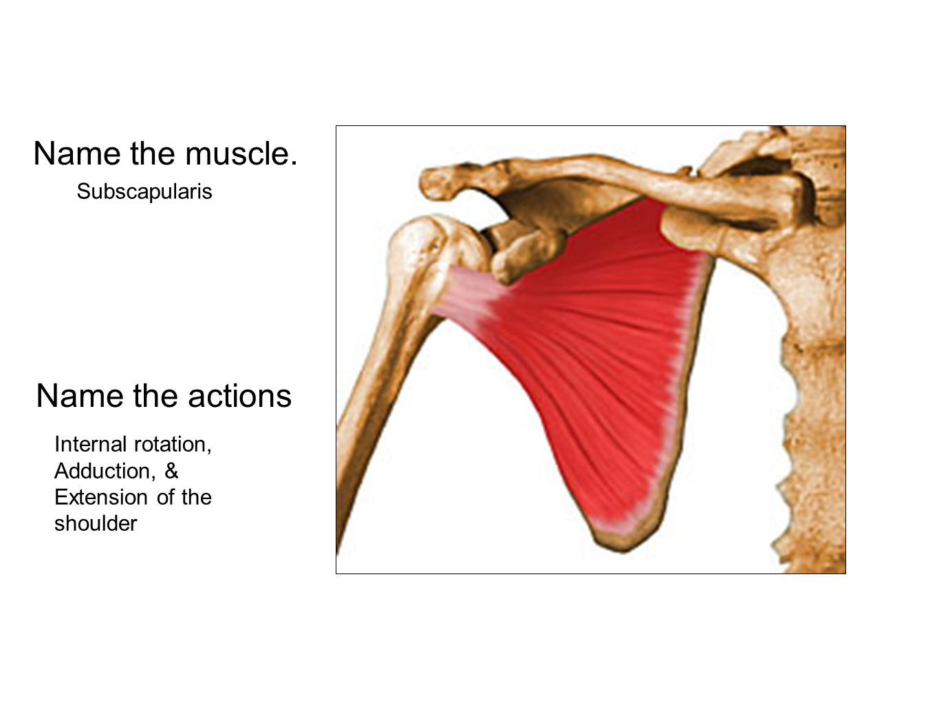 Name the muscle. Name the actions Subscapularis