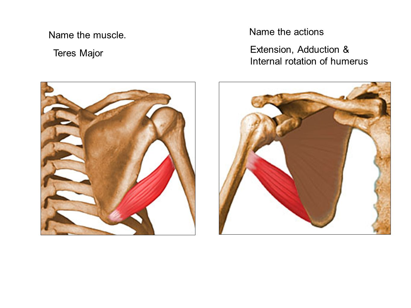 Name the actions Name the muscle. Extension, Adduction & Internal rotation of humerus Teres Major