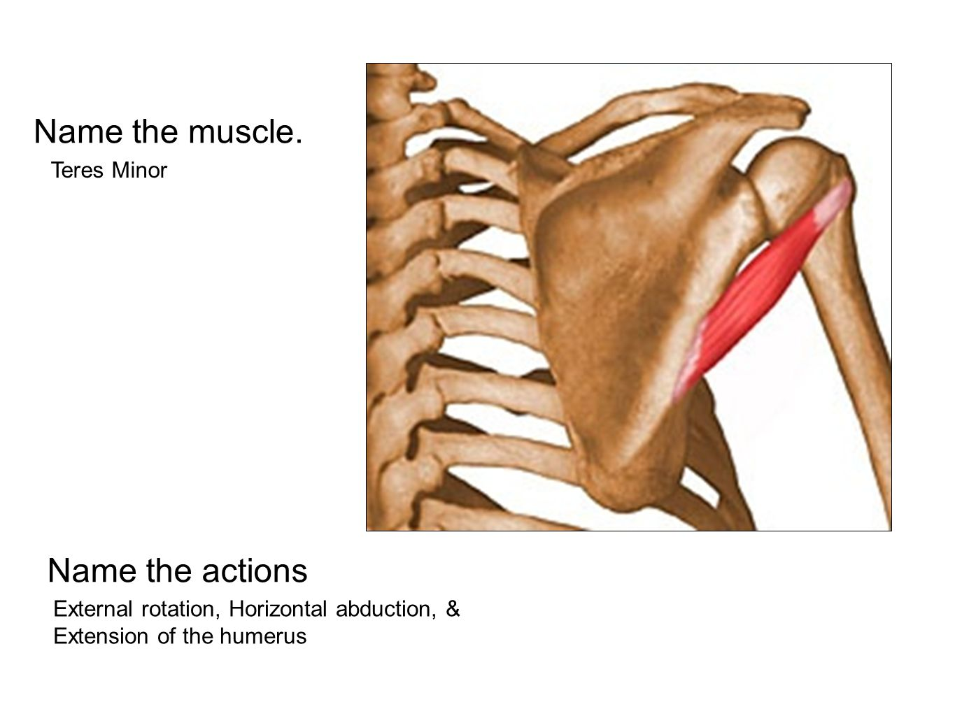 Name the muscle. Name the actions Teres Minor