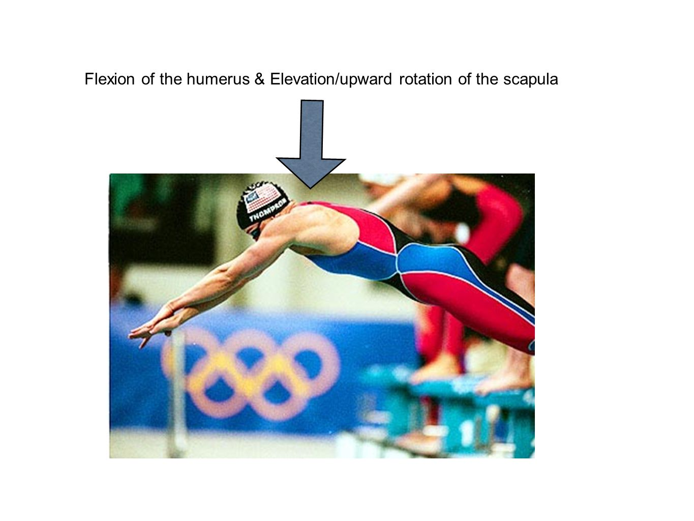 Flexion of the humerus & Elevation/upward rotation of the scapula